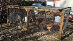 poules-cage